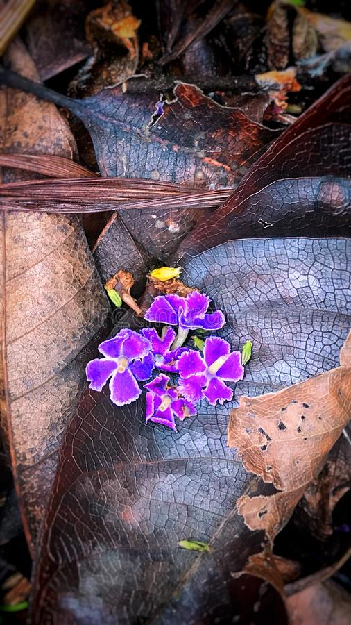 Fallen Flowers of Sapphire Showers Duranta royalty free stock images