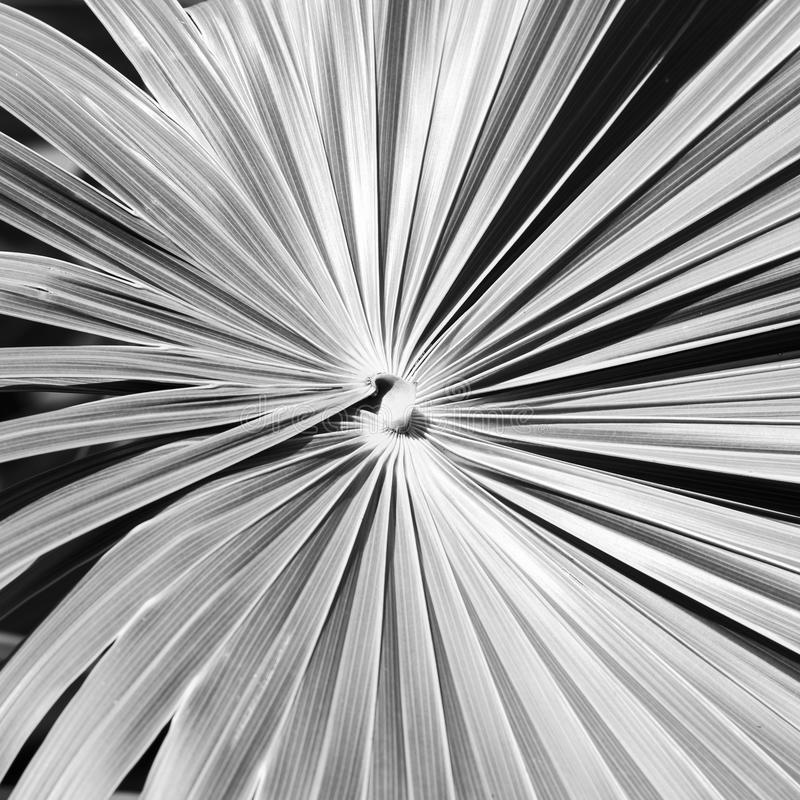 Leaf Background Black and White. Leaves fan out forming a background in black and white stock image