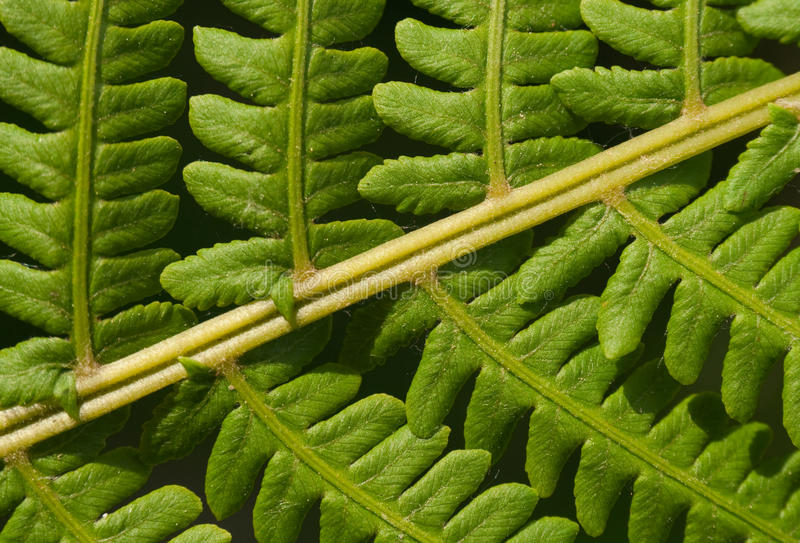 Leaves Of Fern Royalty Free Stock Image