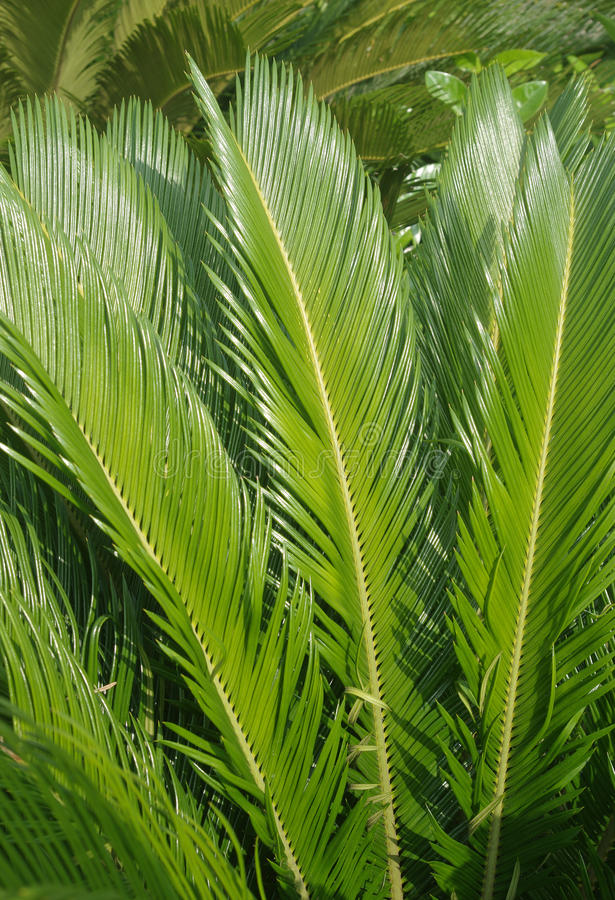 Leaves. A few slices of green cycads leaves royalty free stock image