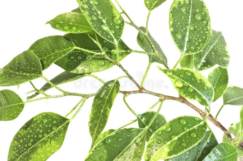Leaves of ficus benjamin with large drops of water. Close-up. stock photography