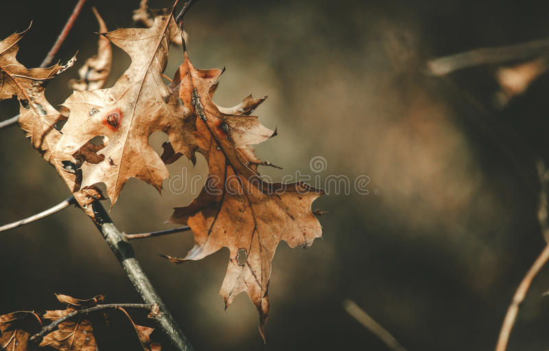 Leaves Fighting Nature Together. Closeup of dry and withering leaves on a branch in nature showing signs of damage from insects and changing of seasons stock image