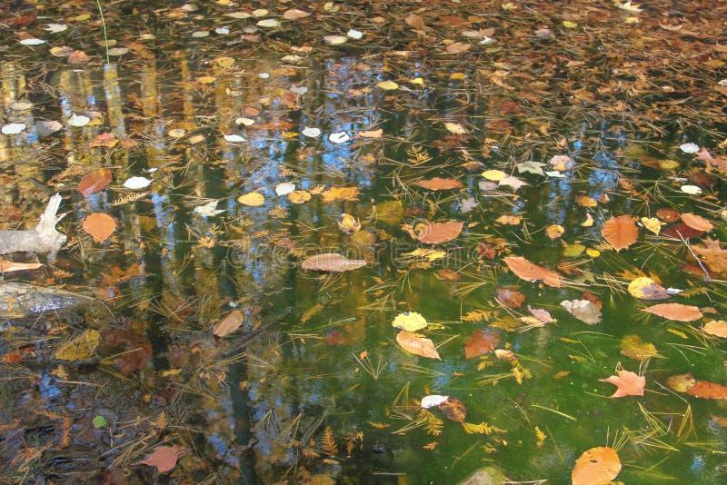 Leaves floating in algae water royalty free stock image