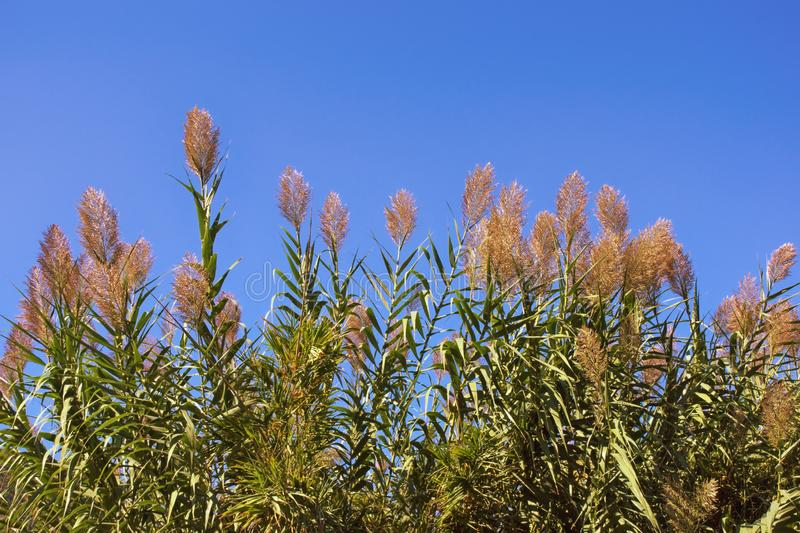 Leaves and flowers of Giant reed against blue sky royalty free stock images