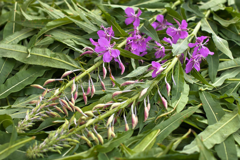 Leaves and flowers willow-herb (Ivan-tea) after gathering. Closeup royalty free stock photos