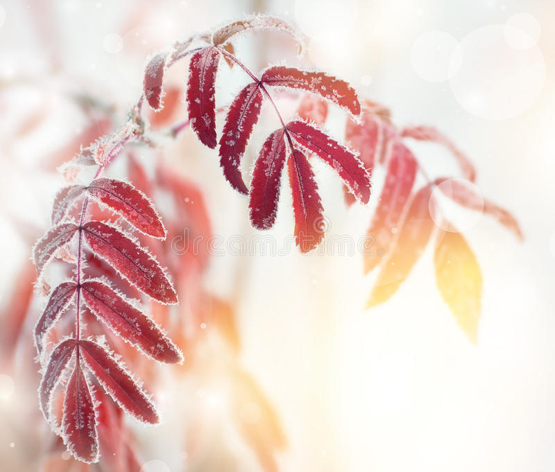 Leaves in the frost stock photo
