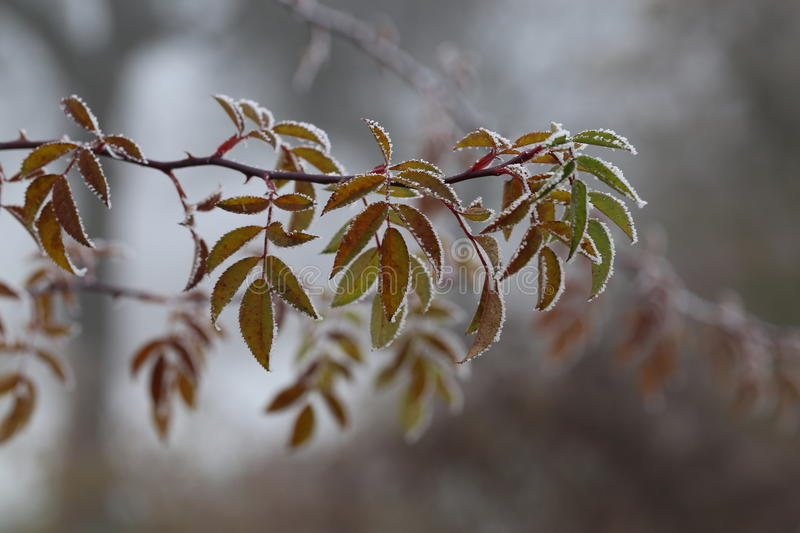 Leaves in the frost royalty free stock image