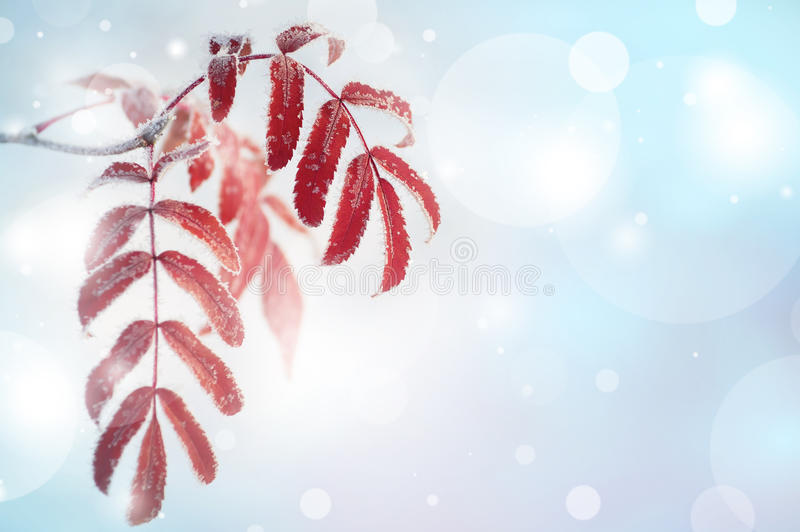 Leaves in the frost royalty free stock photo