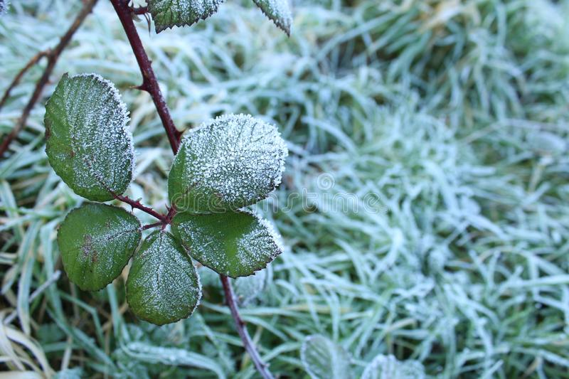 Leaves frozen in a gloomy morning stock image