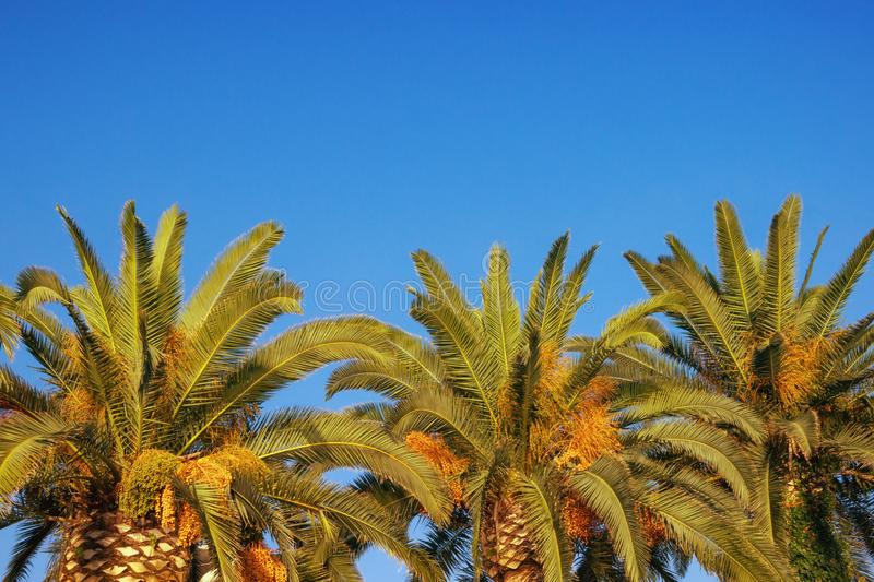 Leaves and fruits of Canary Island Date Palms against blue sky. Free space for text. Vacation concept. Leaves and fruits of Canary Island Date Palms Phoenix royalty free stock photo