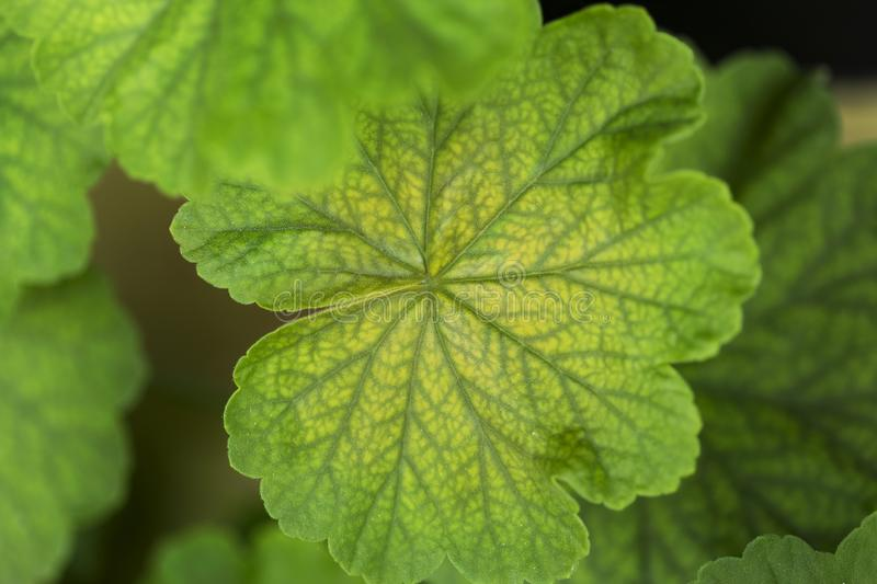 Leaves of geranium plant with round shapes, green and yellow color royalty free stock photo
