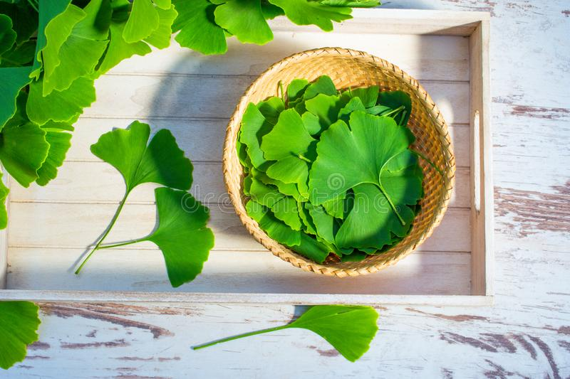Leaves of the ginkgo biloba or ginko tree. Medicinal green leaves from the Ginkgo biloba or Ginko tree. Selected leaves on a table and on a dish prepared for royalty free stock photography