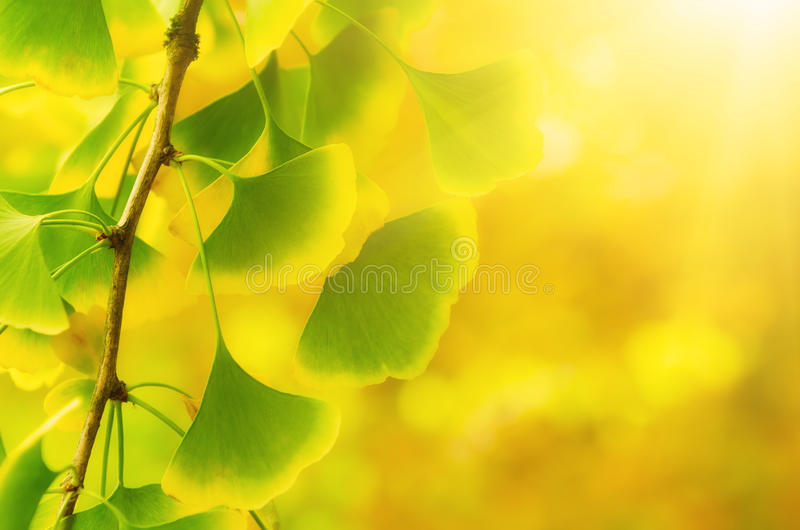 Leaves of Ginkgo Biloba. Green and yellow fall leaves of Ginkgo Biloba - healing plant, nature sunny background stock images