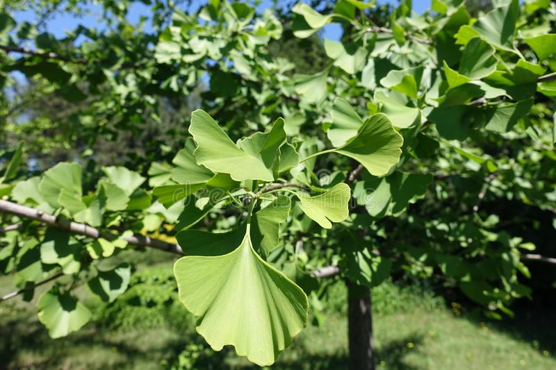 Leaves of ginkgo biloba tree. In May royalty free stock photography