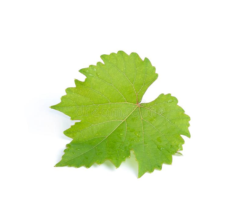 Leaves grape isolated on white background royalty free stock photography