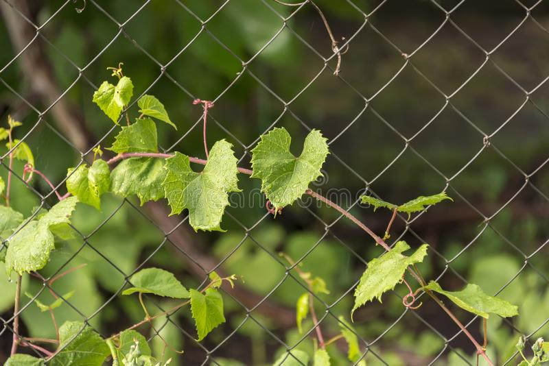 Leaves of the grapes after the rain royalty free stock photo