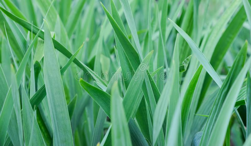 Leaves of grass closeup. Bright saturated green. Summer warm day. And light wind stock image