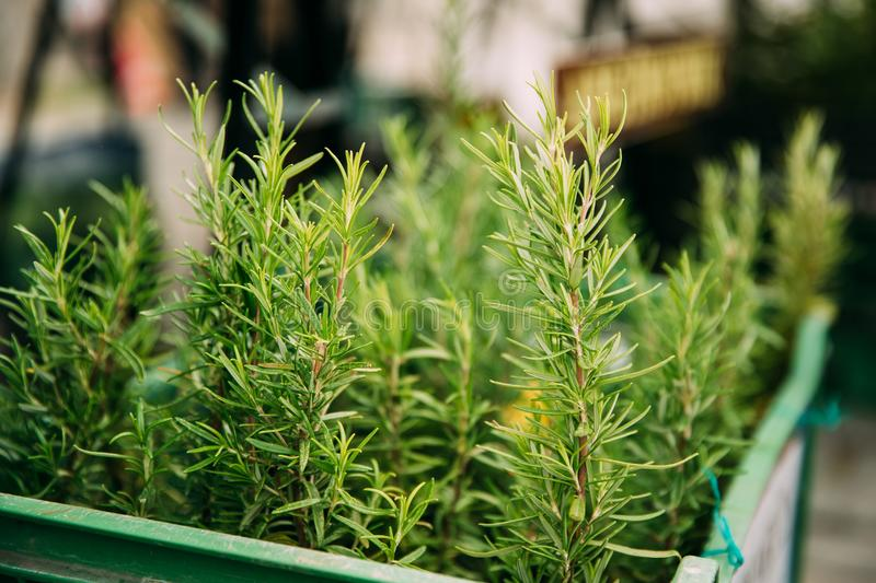 Leaves Of Green Rosemary. Perennial Herb With Fragrant, Evergreen. Green Leaves Of Green Rosemary. Perennial Herb With Fragrant, Evergreen. Rosemary Used As A royalty free stock photography