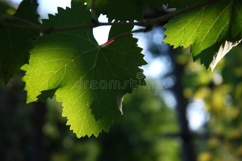 Leaves of green wineyards in Tuscany, Chianti, Italy stock image