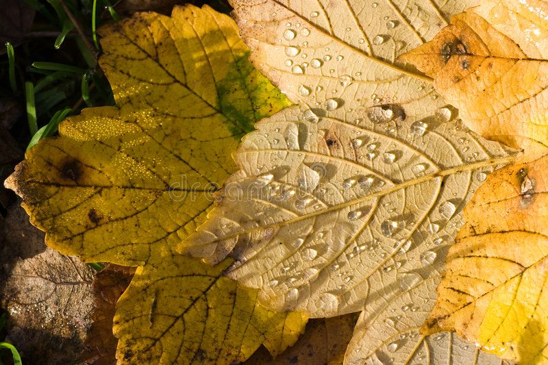 Leaves on the ground. Yellow fallen leaves with drops of water in the sun on the ground stock photography