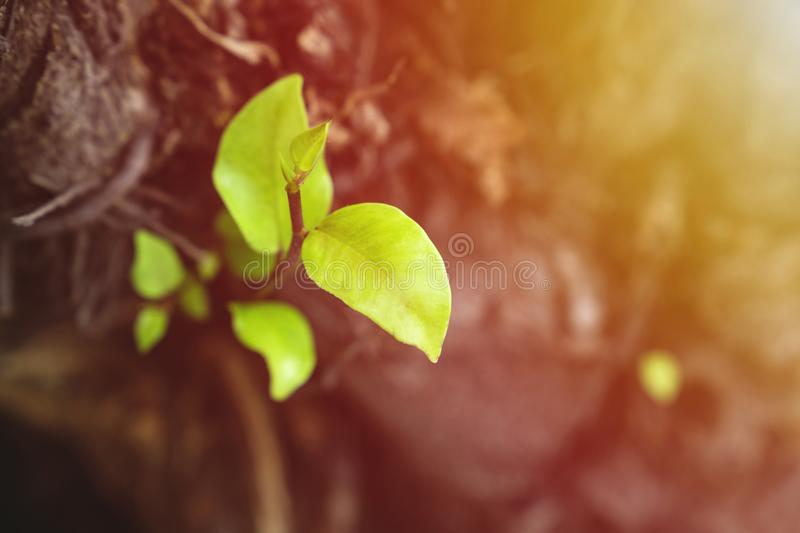 Leaves grow from a dry tree and symbolizing the struggle. Aspiration, ambition and so on stock photos