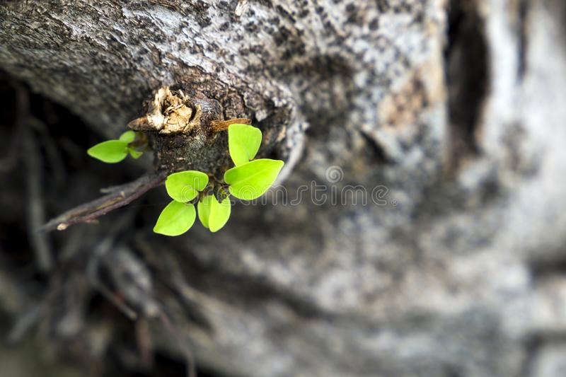 Leaves grow from a dry tree and symbolizing the struggle. Aspiration, ambition and so on royalty free stock photography