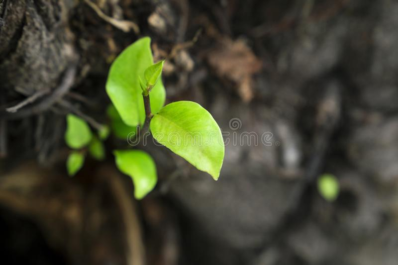 Leaves grow from a dry tree and symbolizing the struggle. Aspiration, ambition and so on stock image