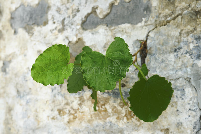 Plant growing in crack. Plant with green leaves growing out of crack on wall royalty free stock image