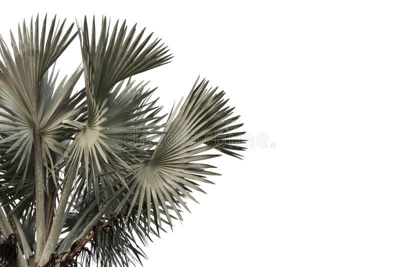 Leaves of high palm trees Livistona Rotundifolia or Fan palm o stock image