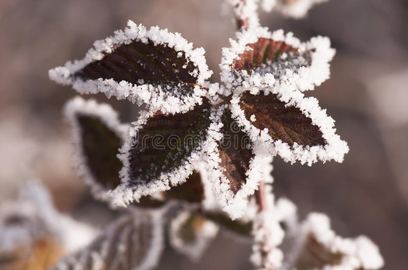 Leaves and hoar. Macro detail of frosty leaves with hoar in the winter season stock images