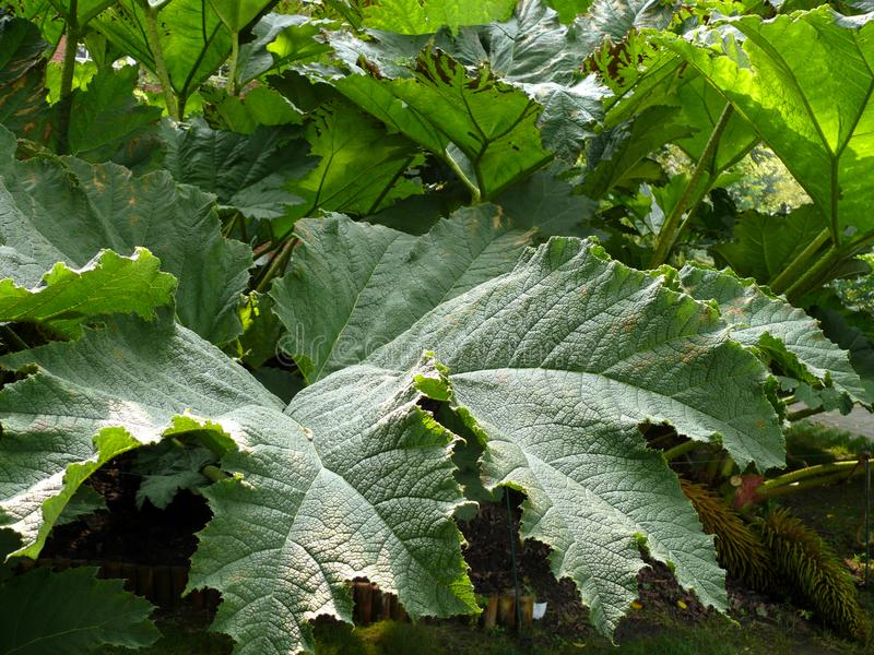 Leaves of a hogweed. Heracleum mantegazzianum stock photos