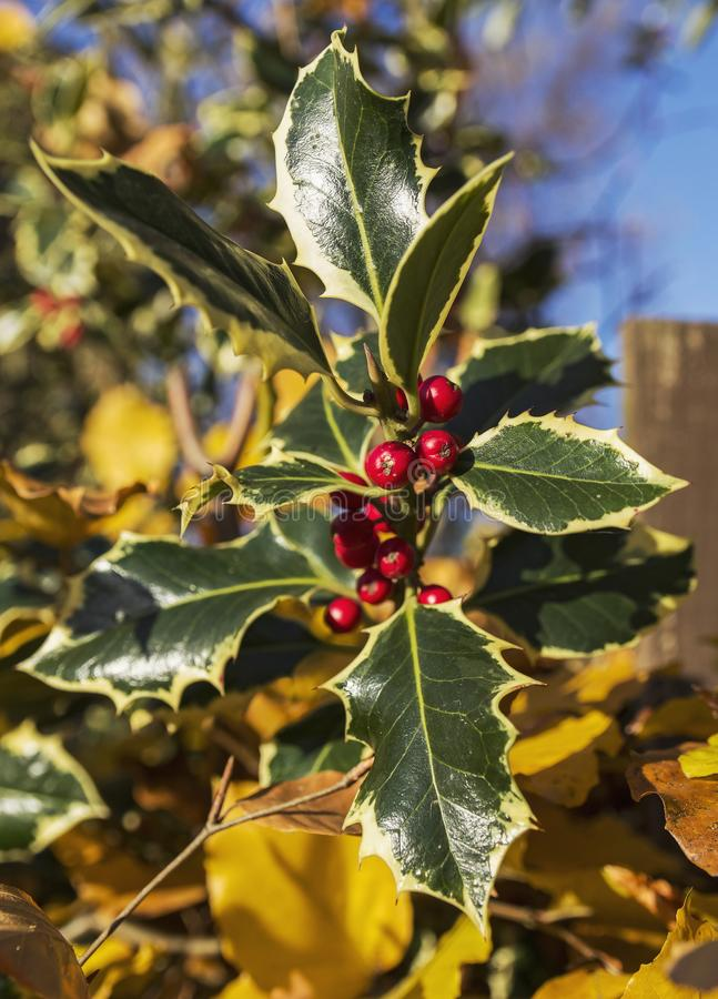 Holly leaves and berries. Leaves of a holly plant with berries or drupes royalty free stock photos