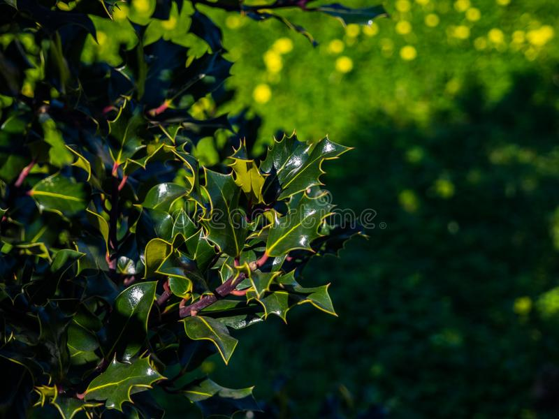 Leaves of holly tree. In a sunny day royalty free stock photography
