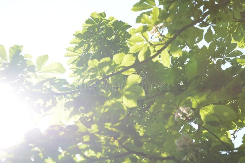 Leaves of horse chestnut photographed towards the sun royalty free stock image