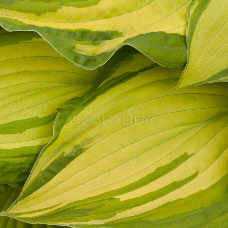 Leaves beautiful hosts. Yellow-green leaves hosts with a beautiful graphic pattern stock images