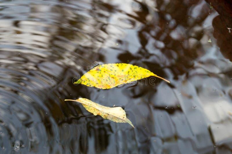 Leaves i vatten royaltyfri bild