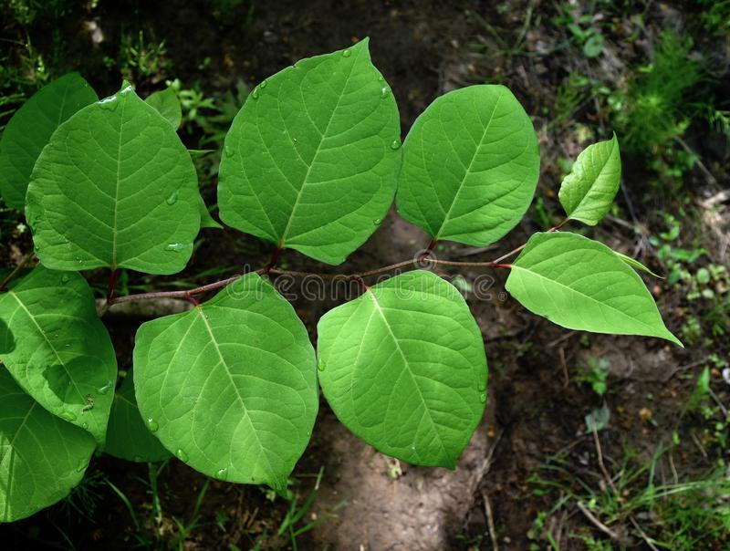 Leaves of the invasive species Japanese knotweed plant growing in a forest. stock photo