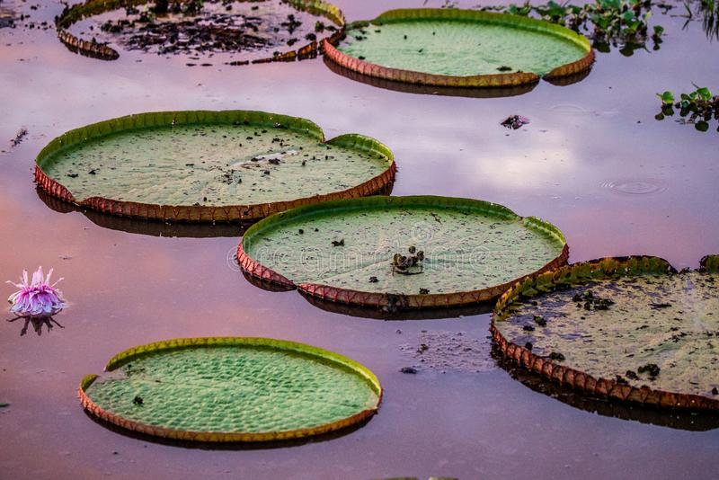 Leaves of the largest water lily Victoria amazonica on the surface of the water in the rays of the setting sun. Awesome pink shade of water. Brazil. Pantanal royalty free stock image