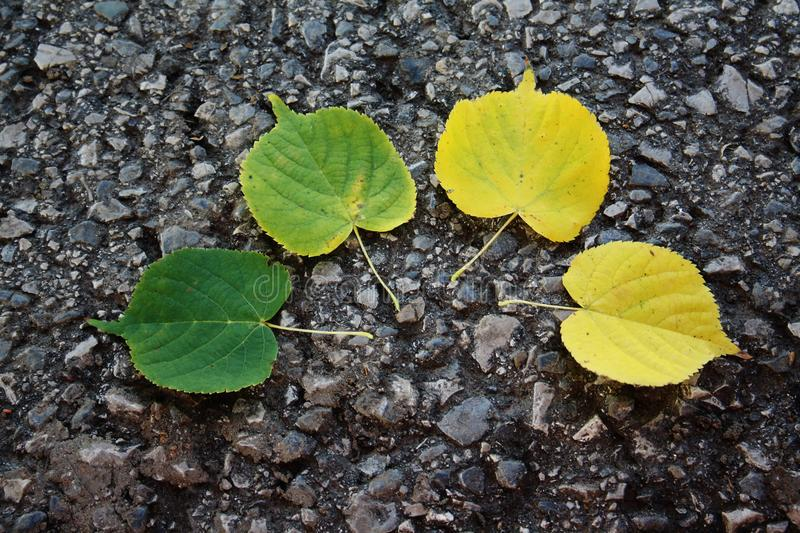 Leaves of linden in autumn. Auttam leaves of linden in autumn royalty free stock image