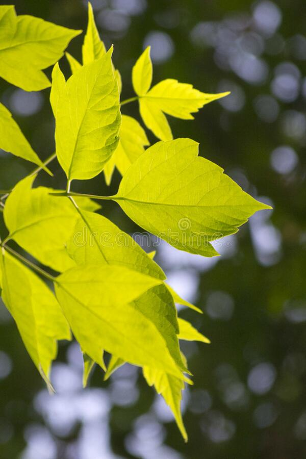 Leaves lit from behind by soft sunset light. royalty free stock photo