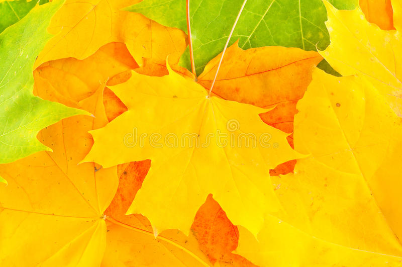 Download Leaves of maple stock photo. Image of texture, element - 28208668