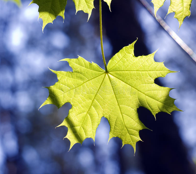 Download Leaves on maple branches stock image. Image of natural - 24736443