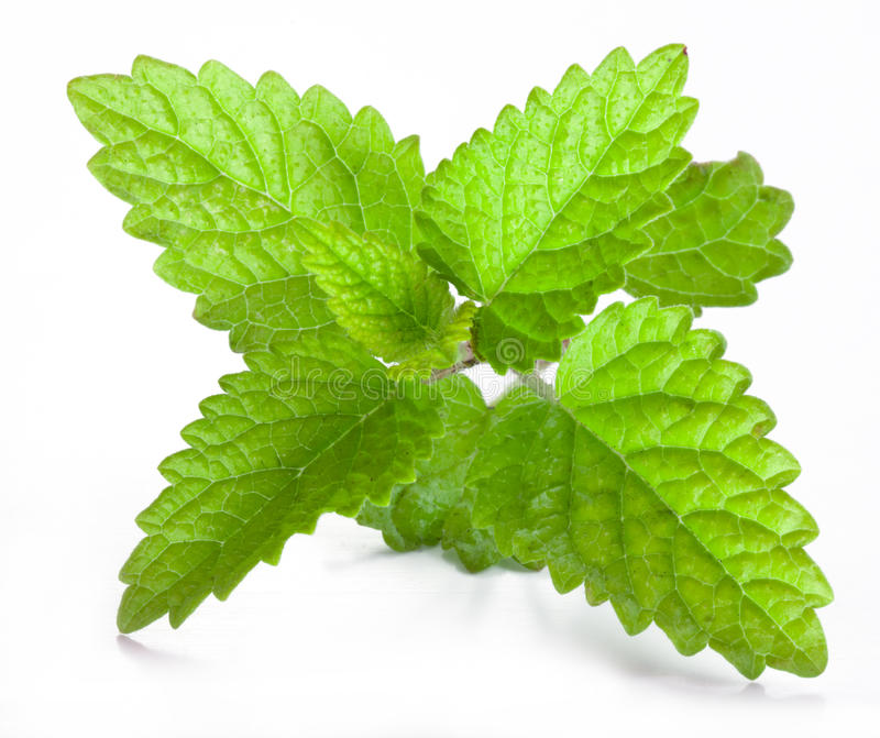 Leaves of melissa stock image