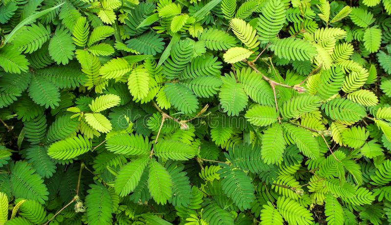 Leaves of Sensitive plant or mimosa pudica. Leaves of Mimosa pudica sensitive plant, sleepy plant stock photo
