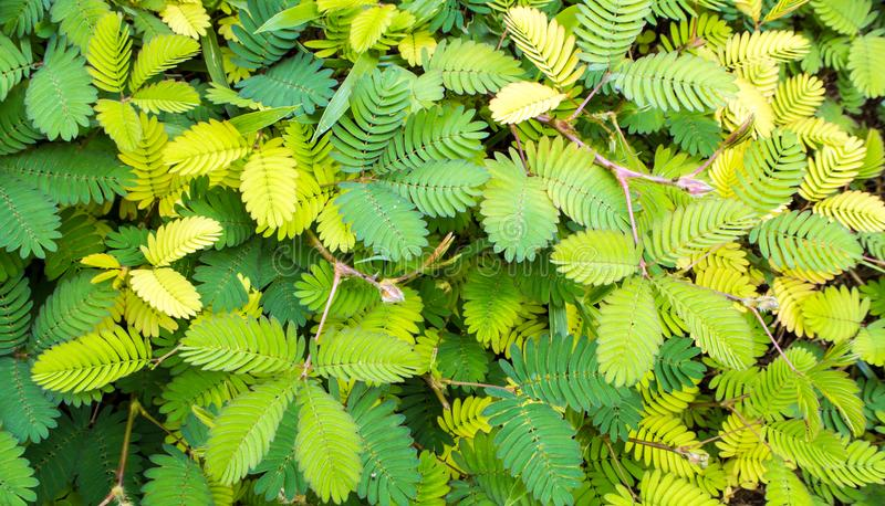 Leaves of Sensitive plant or mimosa pudica. Leaves of Mimosa pudica sensitive plant, sleepy plant stock images