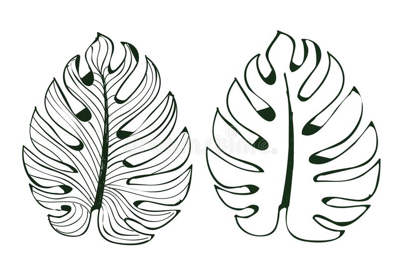 The leaves monstera are used in designs on a white background Isolate lined pattern Illustrator eps 10 royalty free illustration