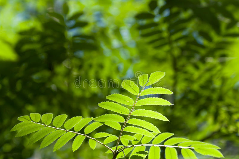 Leaves of mountain ash. In the summer royalty free stock photo