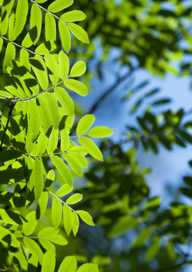 Leaves of mountain ash. In the summer stock images
