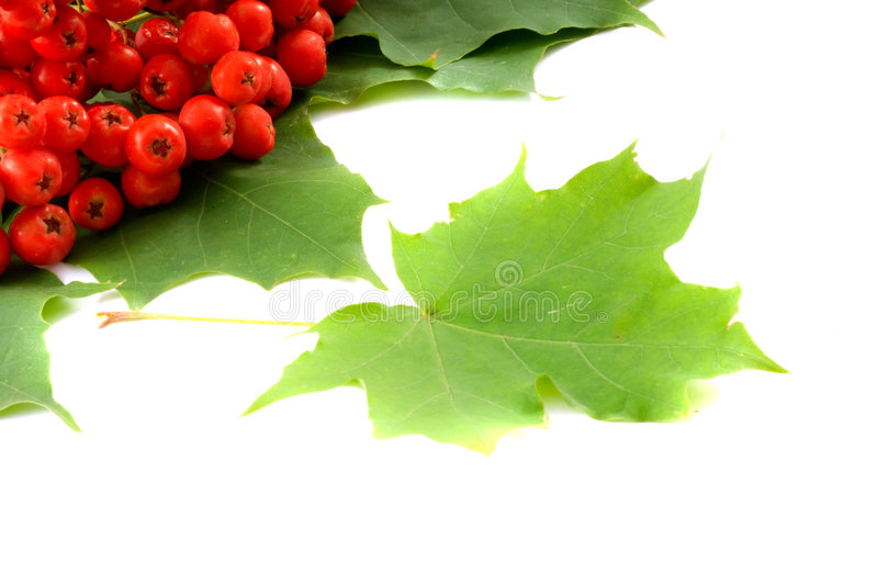 Leaves and mountain ash. Leaves of maple and mountain ash stock photo