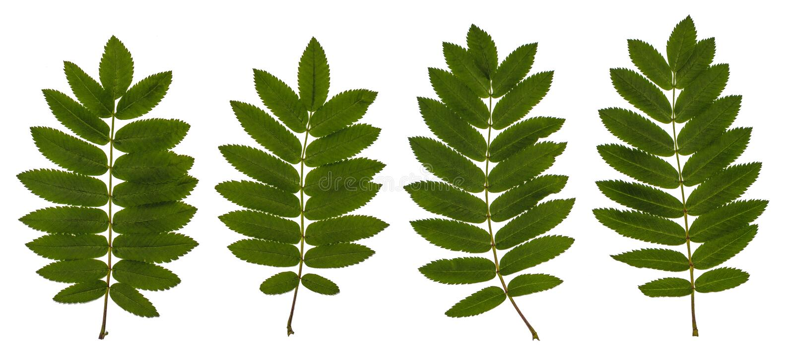 The leaves of mountain ash, red ash, Sorbus aucuparia, the Rowan set of leaves, compound leaves, leaves on a white background. Isolated, Herbology royalty free stock photography